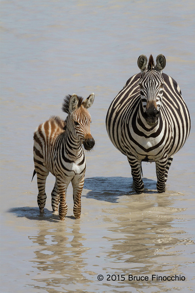 Young_Zebra_With_Another_Mother_About_To_Give_Birth_BF540...