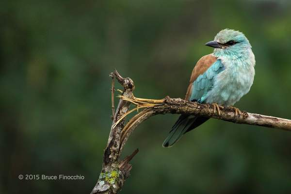 European Roller On A Broken Branch