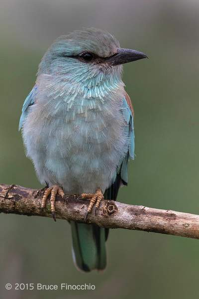 European Roller Portrait