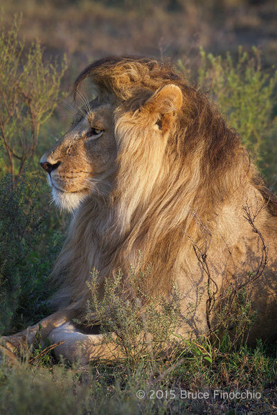 Royal Male Lion King of His Domain by BruceFinocchio