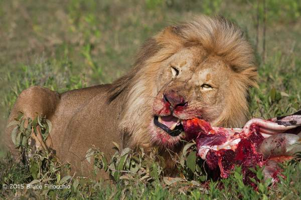 Male Lion Tears Into A Zebra Carcass