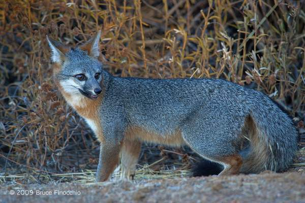 An Alert Gray Fox Checks Behind