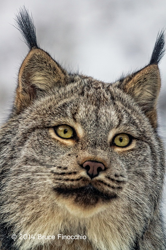 Close Look At The Face Of A Lynx