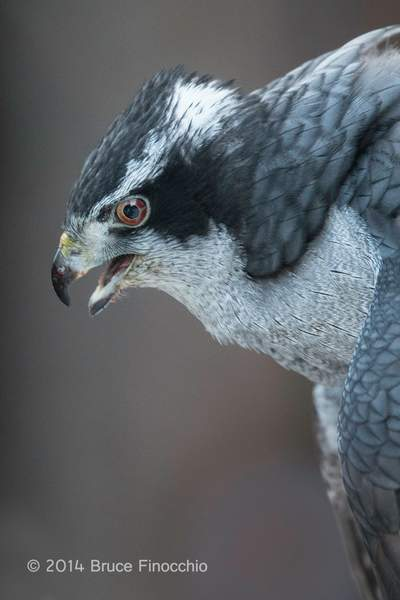 Goshawk With A Open Mouth