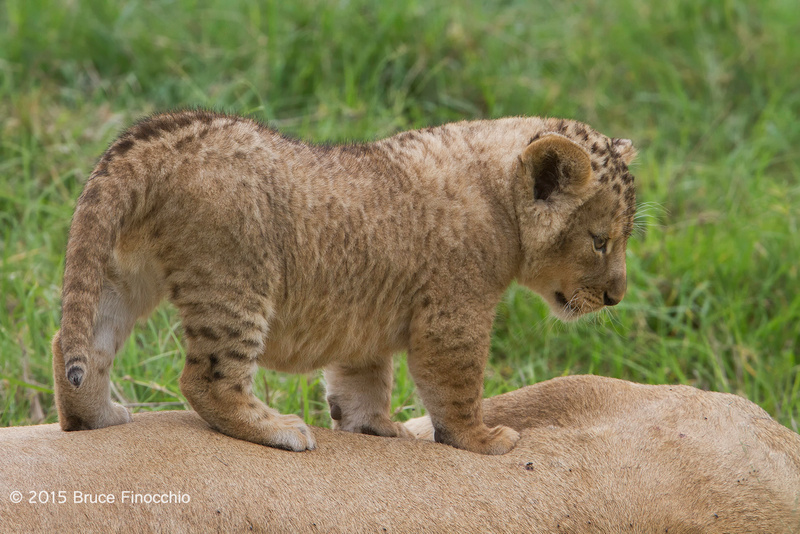 Young Lion Cub Ponders The View