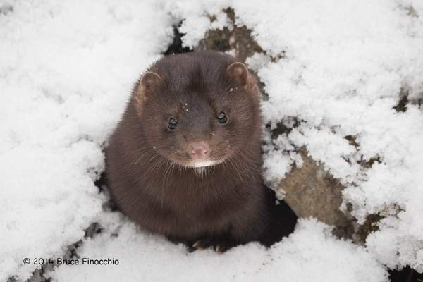 Mink Looking Up Out Of A Rock Crevasse