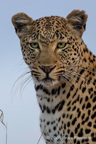 Female Leopard Looking Out At Her World by BruceFinocchio
