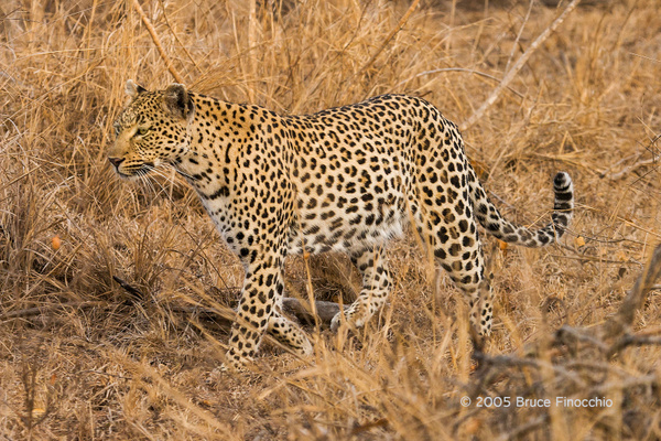 Maxabene Hunting In The Long Dried Grasses by BruceFinocchio