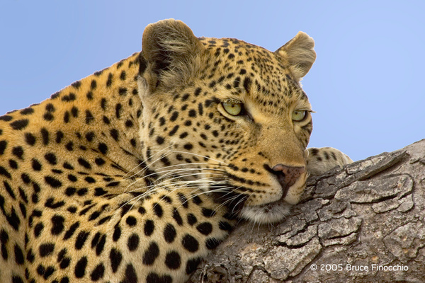 Maxabene Resting on a Tree Limb by BruceFinocchio