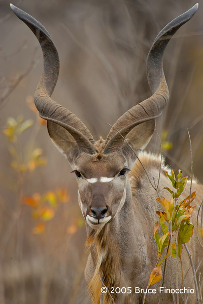Portrait of A Bull Kudu by BruceFinocchio