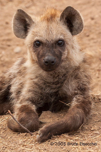 Spotted Hyena Pup Portrait by BruceFinocchio