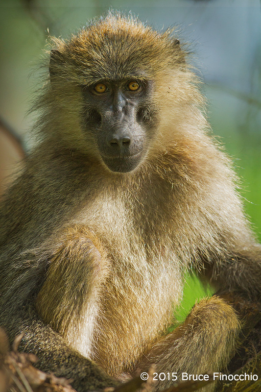 Young Baboon Stares Back