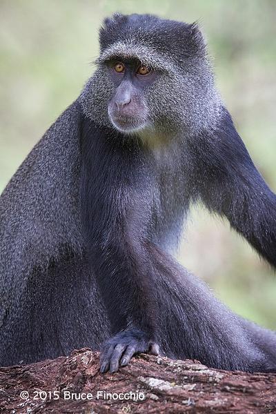Female Blue Monkey Poses by BruceFinocchio