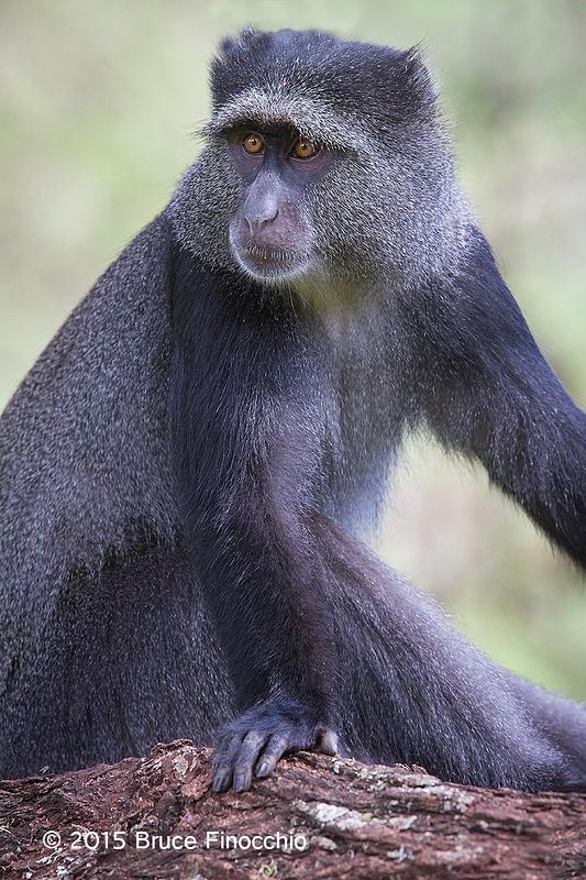Female Blue Monkey Poses