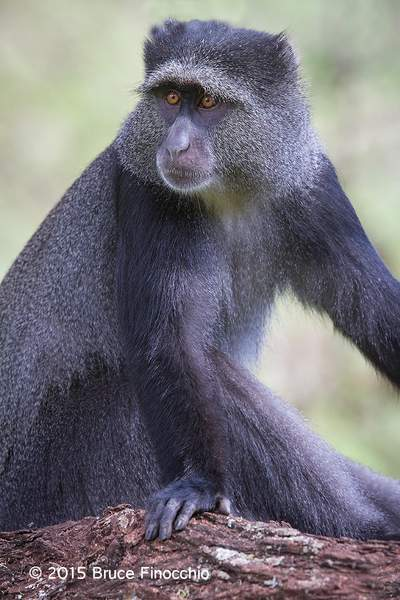Female Blue Monkey Poses