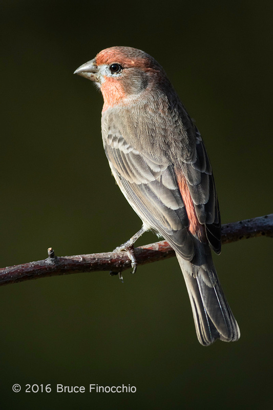 Male House Finch With Sidelighting