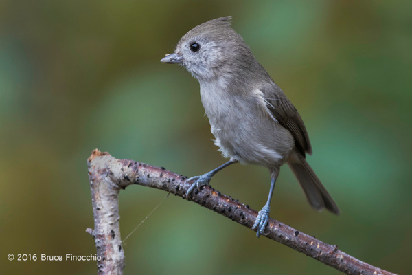 Oak Titmouse With Partial Seed Covering On Beak by BruceFinocchio