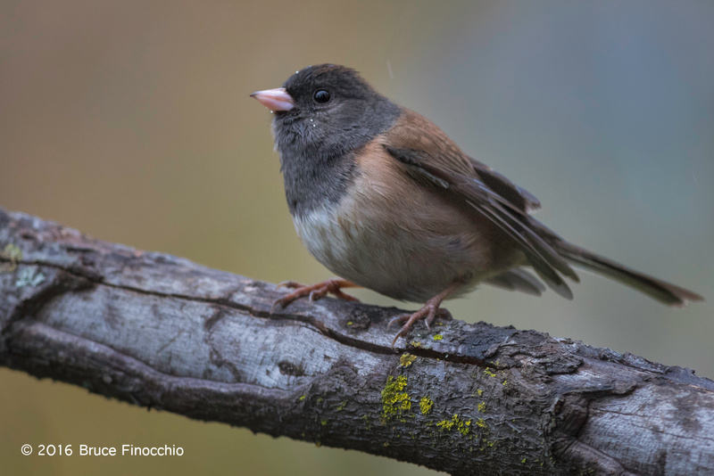 Perched Dark-eyed Junco In The Mist