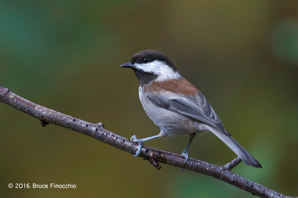 Perfectly Posed Chestnut-backed Chickadee by BruceFinocchio