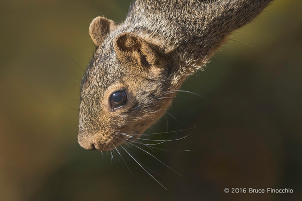 Red Squirrel Leans Down From A Branch by BruceFinocchio