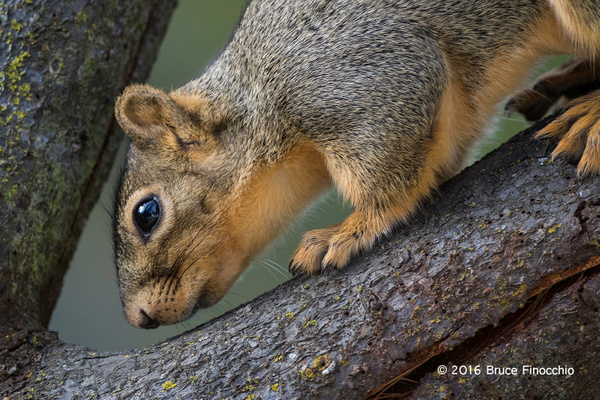 Red Tree Squirrel Between Two Branches by BruceFinocchio