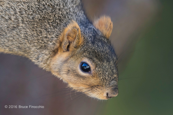 Red Tree Squirrel Peers Downward by BruceFinocchio