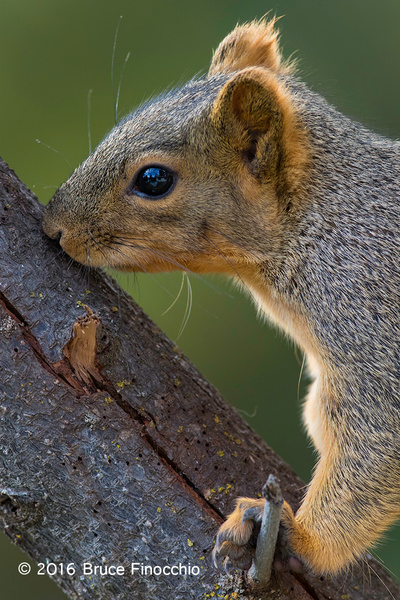 Red Tree Squirrel Touching With Its Mouth A Big Branch's...