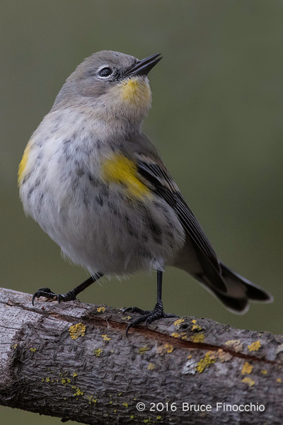 Yellow-rumped Warbler With Open Beak by BruceFinocchio