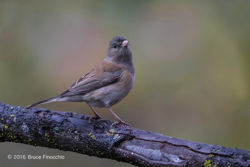 Young Dark-eyed Junco Survey's Its Surroundings