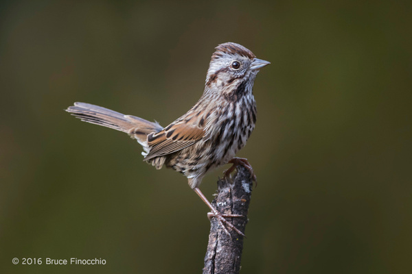A Fidgeting Song Sparrow Lites On A Branch by...