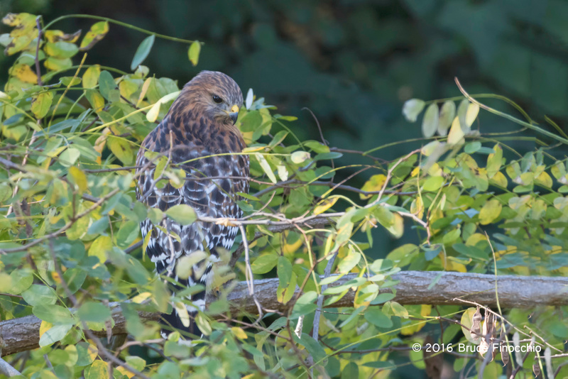 A Hidden Red-shoulder Hawk Looks For Prey While Perched