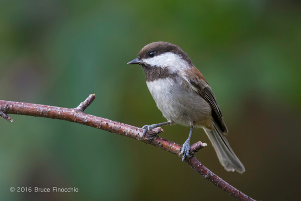 A Moment In The Life Of A Chestnut-backed Chickadee by...