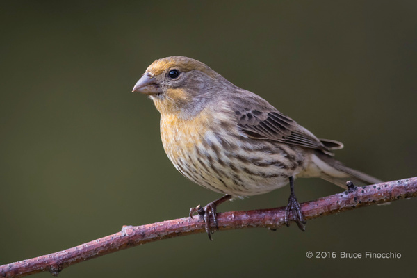 Adult Yellow Variant House Finch by BruceFinocchio