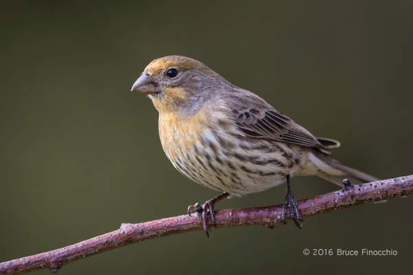 Adult Yellow Variant House Finch