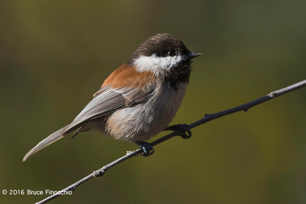 An Alert Chestnut-backed Chickadee On A Perch by...