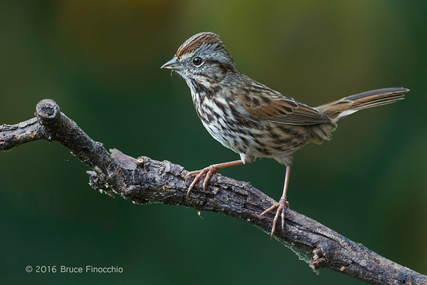 An Alert Song Sparrow On Perch by BruceFinocchio