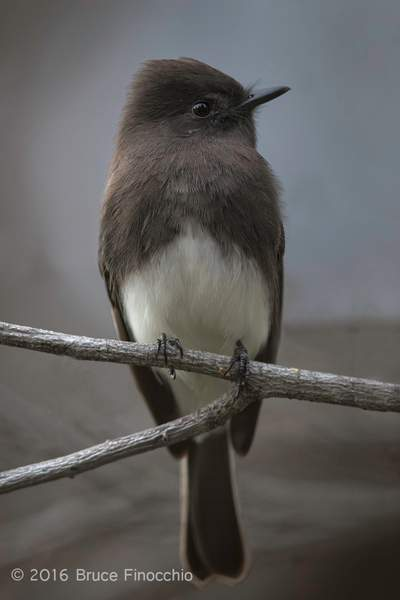 Black Phoebe On A High Backyard Perch