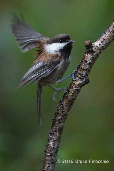 Chestnut-backed Chickadee Flutters Wings On Perch by BruceFinocchio