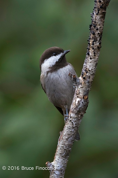 Chestnut-backed Chickadee Peeks From Behind A Branch by BruceFinocchio