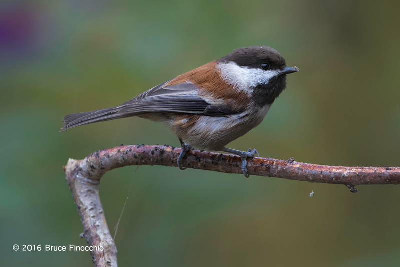 Chestnut-backed Chickadee Ready For Action