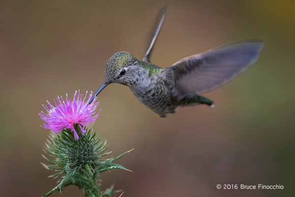 Female Anna's Hummingbird Sipping Nectar From A Purplish...