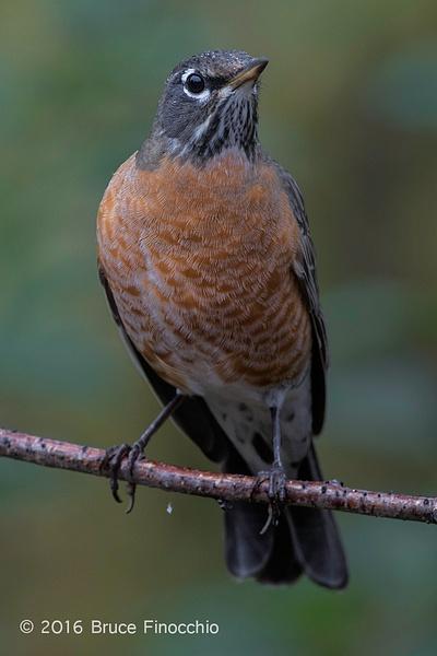 Female Robin In The Rain by BruceFinocchio