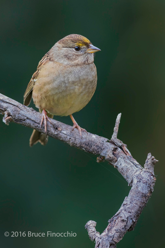 Golden-crowned Sparrow On Perch