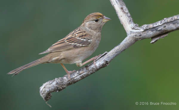 Golden-crowned Sparrow On The Lower Perch by BruceFinocchio