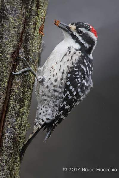 Male Nuttall's Woodpecker With A Chip Of Bark In Beak