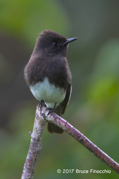 Black Phoebe Resting And Watchful by BruceFinocchio