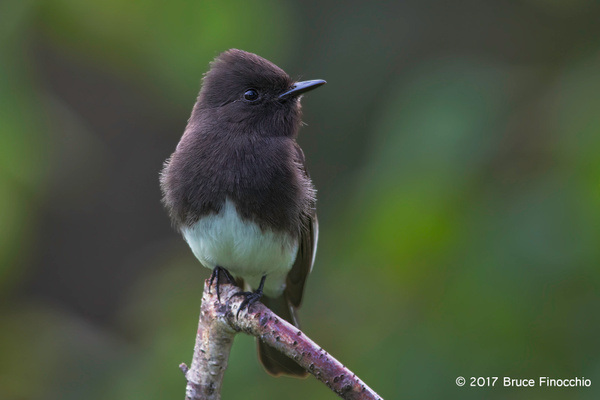 A Watchful Black Phoebe Perched by BruceFinocchio