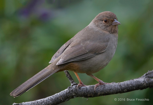 A Perched Yet Alert California Towhee by BruceFinocchio
