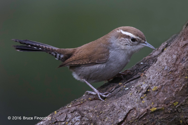 Bewick's Wren Looks For Insects Within Tree Bark by...