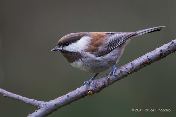 A Chestnut-backed Chickadee Lands On A Branch by...
